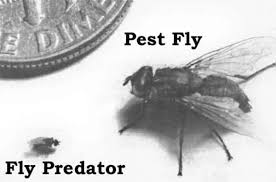 Predator Wasps For Horse Farm Fly Control - The #1 Resource For ... Defeat The Enemy Fly Control Options For Horse And Barn Music Calms Horses Emotional State The 1 Resource Breyer Crazy In At Schneider Saddlery Horsedvm Controlling Populations Around Oftforgotten Bot Equine Dry Lot Shelter Size Recommendations Successful Boarding Your Expert Advice On Horse 407 Best Barns Images Pinterest Dream Barn Barns A Management Necessity Owners Beat Barnsour Blues Care Predator Wasps Farm Boost Flycontrol Strategies Howto English Riders