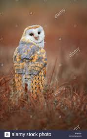 Asian Owl Stock Photos & Asian Owl Stock Images - Alamy Amazing Barn Owl Nocturnal Facts About Wild Animals Barn Owl By David Cooke For Sale The Sculpture Parkcom Rhodium Comes To Canada With Its Striking New Nocturnal Nature Flying Wallpapersbirds Unique Hd Wallpapers Owls In Kuala Lumpur Bird Park Stock Photo Image 87325150 Biocontrol View Common In Malaysia Sekinchan Paddy Field Youtube Another Blog Farmers Friend Bear With Him Girl Mom Birds Of World Owls