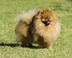 Dogs That Dont Shed And Smell by 5 Dog Breeds That Boast Being Easy To Groom Pets4homes