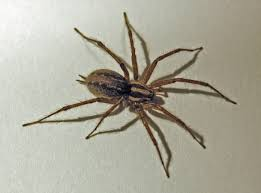 Ohio's Biting Spiders | Spidersrule Spiders At Spiderzrule The Best Site In World About Spiders 5 Venomous Found Colorado Outthere 109 And Webs Images On Pinterest Nature Ohios Biting Spidersrule The Barn Spider Pets Cute Docile Bug Eric Sunday Western Spotted Orbweaver Araneus Gemmoides Wikipedia Poisonous Georgia