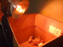 Tractor Supply Heat Lamp by Caring For Baby Arcadia Farms