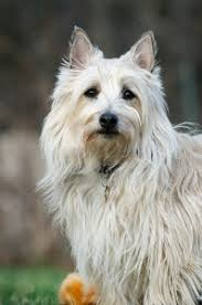 cairn terrier shed hair facts about birds dogs that do not shed