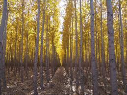 Christmas Tree Saplings For Sale Ireland by Hybrid Poplar Trees This Cottonless Hybrid Is A Cross Between An