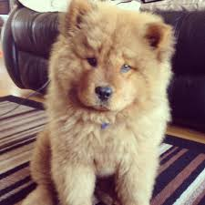Dogs That Dont Shed Or Stink by I Want A Chow Chow Puppy Sooooo Bad And My Mom Sayd No Bc They
