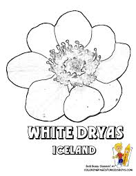 Iceland White Dryas Flower Coloring At YesColoring