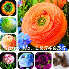 shop free shipping 1pcs ranunculus asiaticus flower bulbs
