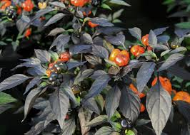 Stages Of Pumpkin Plants by Get Fired Up About Ornamental Peppers Mississippi State