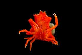 Decorator Crab Tank Mates by True Crabs Gulf Specimen Marine Lab