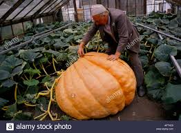 Largest Pumpkin Contest Winners by Giant Pumpkin Competition Stock Photos U0026 Giant Pumpkin Competition