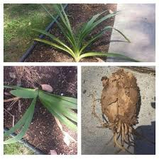 identify plant by leaves bulb and roots