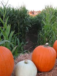 Del Oso Pumpkin Patch Lathrop Ca by Best Corn Mazes Near Sacramento Cbs13 Cbs Sacramento