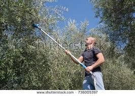Harvest Time Olive Garden Stock Shutterstock