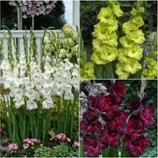 caladium bulbs for sale buy flower bulbs in bulk save plants