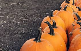 Swans Pumpkin Farm Hours by Visit Some Of Our Favorite South Sound Pumpkin Patches
