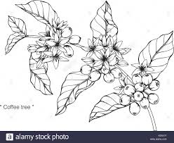 1300x1068 Coffee Tree Drawing Illustration Black And White With Line Art