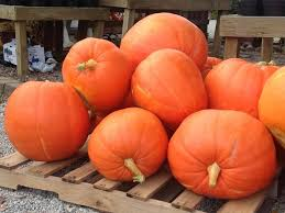 Pumpkin Patch Cleveland Mississippi by Pick Your Own Pumpkins At Jacquemin Farms Ohio Haunted Houses
