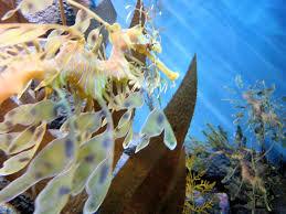 file dsc28199 leafy sea monterey bay aquarium monterey