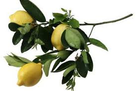potted citrus tree care home guides sf gate