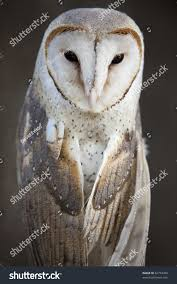 Close Barn Owl Stock Photo 82774480 - Shutterstock Barn Owl Looking Over Shoulder Perched On Old Fence Post Stock Eccles Dinosaur Park Carnivore Carnival The Salt Project Barn Moving Head Side To Slow Motion Video Footage 323 Best Owls Images Pinterest Owls Children And Free Images Wing White Night Animal Wildlife Beak Predator 189 Beautiful Birds Sat A Falconers Glove Photo Royalty Image Paris Owl 150 Pictures Snowy More