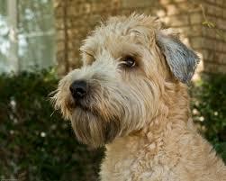 264 best wheaten terriers images on pinterest terriers