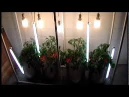 dwc water culture hydroponic tomatoes with vertically hung