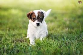 Small Dogs That Dont Shed Hair by Jack Russell Dog Breed Information Buying Advice Photos And