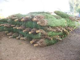 Nordmann Fir Christmas Trees Wholesale by Buy Christmas Trees U2013 Buy Bulk Christmas Trees From Bishop And Mathews
