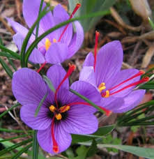 saffron crocus sativus x 5 bulbs bulbs direct