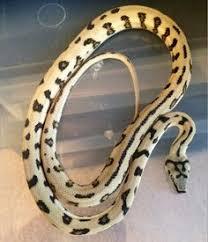 Coastal Carpet Python Facts by Jaguar Coastal Carpet Python Cold Blooded Beauty Snakes