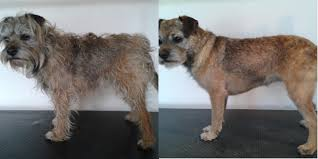 discussion weekend breed border terrier dogs