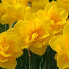daffodil bulbs cernelle for sale gardening