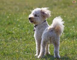 do cavapoos shed a lot cavachon or cavapoo what s the difference in the two breeds