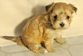 Non Shedding Dog Breeds With Pictures by Shih Tzu Hybrid Dogs