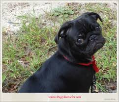 Do Pugs And Puggles Shed by Ringworm U2013 Pug Chronicles