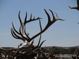 Shed Hunting Utah 2014 by Shed Antler Archives Arizona Antler Addiction