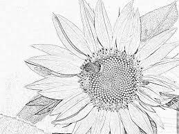Index Of Mainnature Fleurstournesol Coloriage