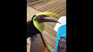 Feeding Fruit Loops To A Toucan