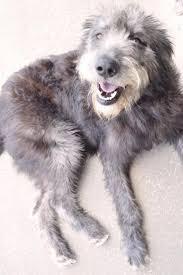 Irish Wolfhound Non Shedding by 69 Best I Love Dogs Images On Pinterest Irish Wolfhounds