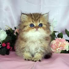 tea cup cat shaded golden teacup kitten 9 charming tea cup cat