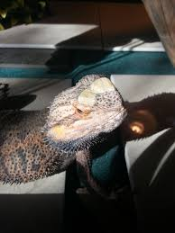 Bearded Dragon Shedding A Lot by Strange Head Coloration On Bearded Dragon Any Ideas U2022 Bearded
