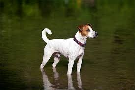 Rat Terrier Excessive Shedding by Toy Fox Terrier Dog Breed Information Pictures Characteristics