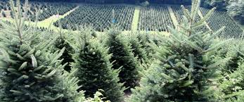 Fraser Fir Christmas Trees Nc by Fraser Fir Christmas Tree Farm Newland Banner Elk Nc North