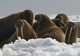 Tuff Shed Movers Sacramento by Federal Government No Threatened Species Listing For Walrus Sfgate