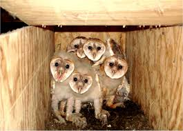 The Owls Of Penn's Woods | Pennsylvania EBird Catching Prey In The Dark Barn Owl Tyto Alba Owls Make A Comeback Iowa The Gazette Of Australia Australian Geographic How To Build Or Buy Nest Box Company Best 25 Ideas On Pinterest Beautiful Owl Owls And Modern Farmer Absolutely Stunning Barn Drawing From Artist Vanessa Foley Audubon California Starr Ranch Live Webcams Red By Thef0xdeviantartcom Deviantart Tattoo Scvnewscom Opinioncommentary Beautifully Adapted 9 Best Images A Smile Animal Fun