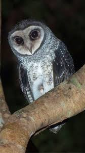 547 Best Owl's Images On Pinterest | Barn Owls, Bird And Owls White Screech Owl Illustration Lachina Bbc Two Autumnwatch Sleepy Barn Owl Yoga Bird Feeder Feast And Barn Wikipedia Attractions In Cornwall Sanctuary Wishart Studios Red Eastern By Ryangallagherart On Deviantart Owlingcom Biology Birding Buddies 2000 Best 2 Especially Images Pinterest Screeching Youtube