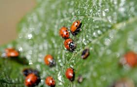 Attracting Insects To Your Garden by Attracting Ladybugs To Your Garden U2013 The Mercury News