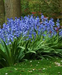 hyacinthoides hispanica excelsior from the engelen flower
