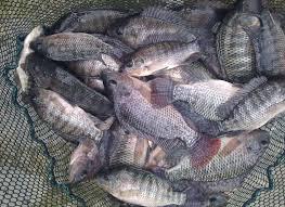 Blue Nile Tilapia Have Arrived