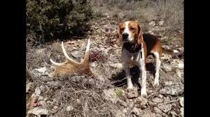 Do Treeing Walker Coonhounds Shed by Moose Paddle Utah Shed Hunting 2015 Youtube
