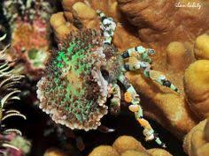 Decorator Crab Tank Mates by Marcocoeloma Trispinosum The Spongy Decorator Crab Takes Expert